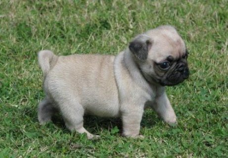 Cute and Beautiful Pug puppies ready now..