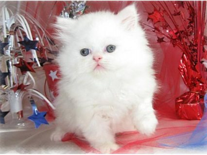 Male And Female Persian kittens For Your Kids Now Ready