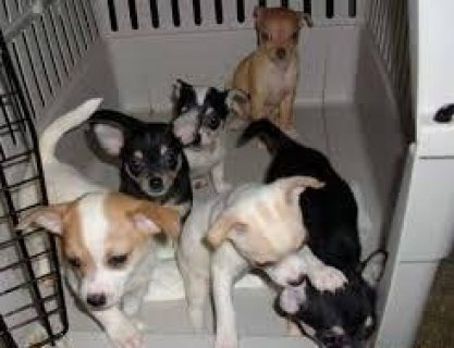 Chihuahua puppies males and females for sale