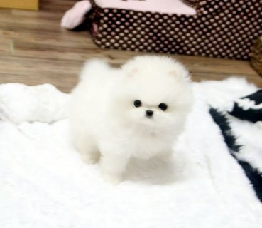 Beautiful Pomeranian puppies Available .