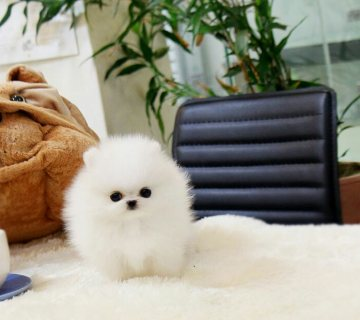 New Pomeranian Puppies  For Rehoming