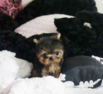 صور Wow Adorable Teacup Teacup Yorkshire Puppies For Adoption.  1