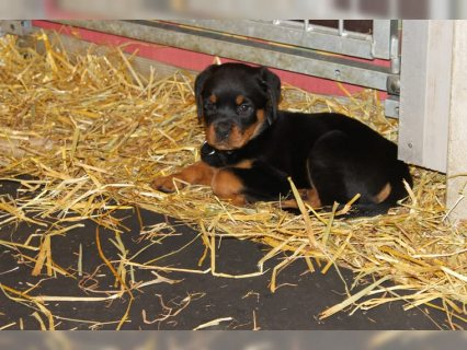 Rottweiler Puppies Ready Forring and Loving Homes