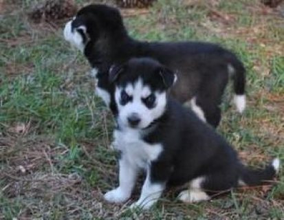 Siberian husky Puppies For Loving Homes.