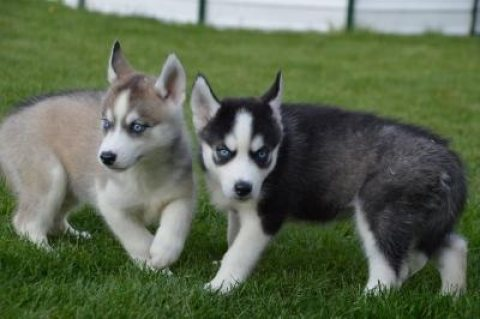 For adoption 2 beautiful Siberian husky puppies.