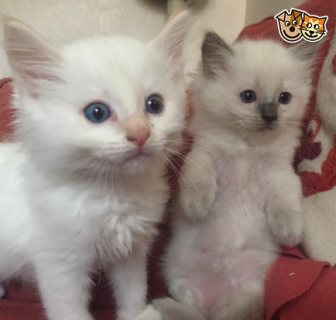 Tica Registered Ragdoll Boy And Girl