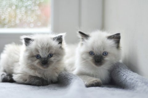 Cute And Fluffy Ragdoll Kittens For Rehoming