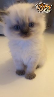 Rare Colour Point Ragdoll X Persian Kittens