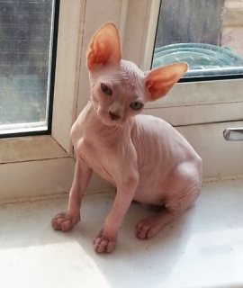 cute and Lovely sphynx male and female kittens