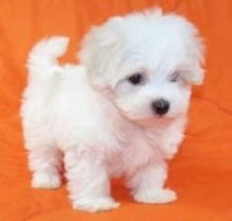 Beautiful Maltese Puppies Available for sale