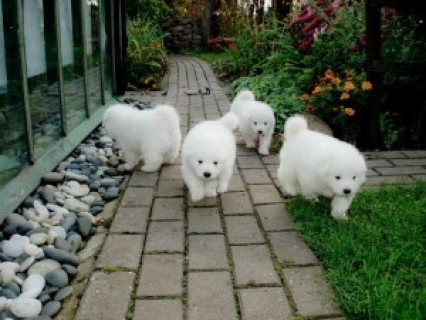 صور Purebred Samoyed Puppies for sale 1
