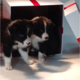 Male and female Border Collie Puppies for Sale../../