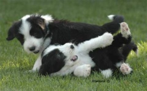 صور bearded collie Puppies for adoption.,,..,.,./ 1