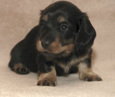 Dachshund puppies for sale....,.,.