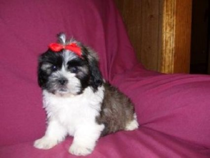 Male and Female Shih Tzu Puppies.,..,.,