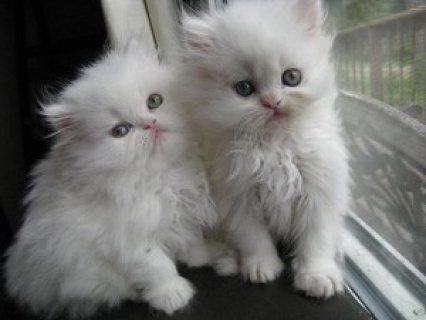 صور Two White male and female Persian Kittens for sale.., 1