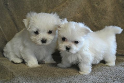 Pure White Maltese Ready for New Home