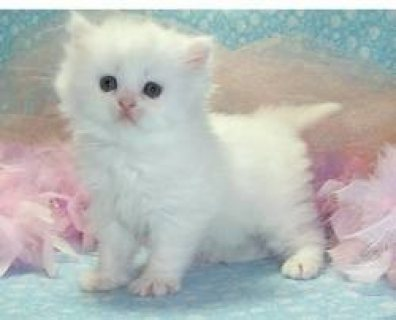 Cute male and female Teacup Persian kittens ready for sale...