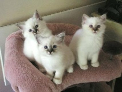 3 Seal Point Birman kittens for sale