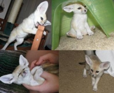 Fennec fox for rehoming(for sale)