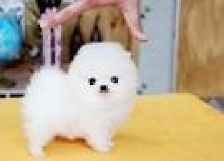 Lovely cute male and female Teacup Pomeranian Puppies for sale..