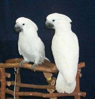 Intelligent Umbrella Cockatoos Parrots for Sale