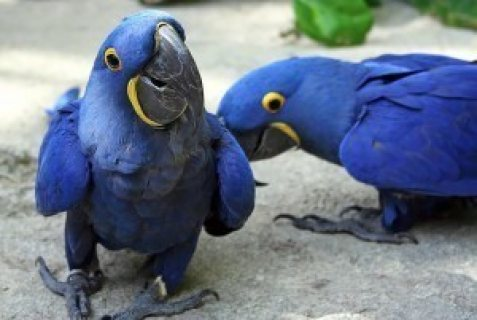 Blue male and female Macaw Parrots ready for sale ..