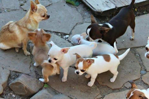 MINI TOY CHIHUAHUA PUPPIES FOR ADOPTION........