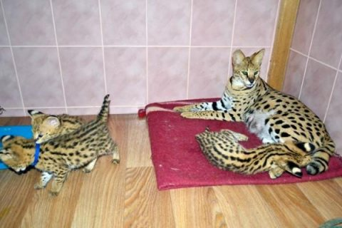 Savannah and serval caracal kitten available
