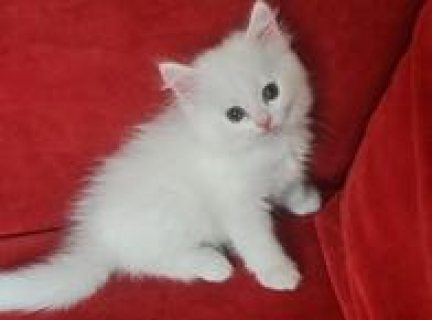 Nice Looking Persian Kittens Available now