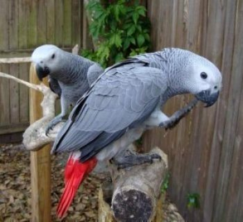 African gray Parrots for adoption.