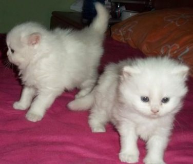 Two White Persian Kittens for sale now