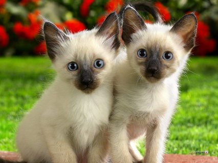 صور Siamese kittens available  for sale 1