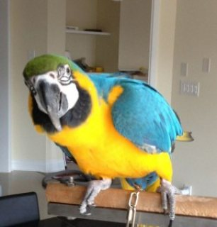 Blue and Gold Macaws parrots for Adoption