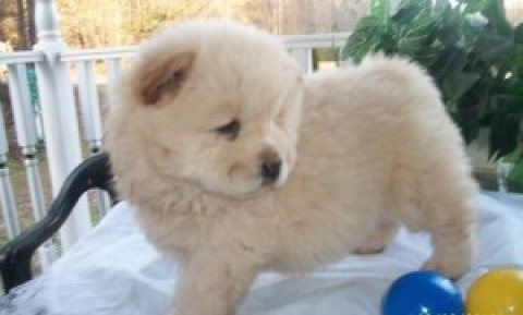 Beautiful Chow Chow Puppies !