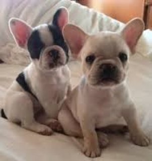 playfull and Beautiful French Bulldogs