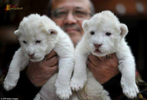excellent temperament cubs for sale