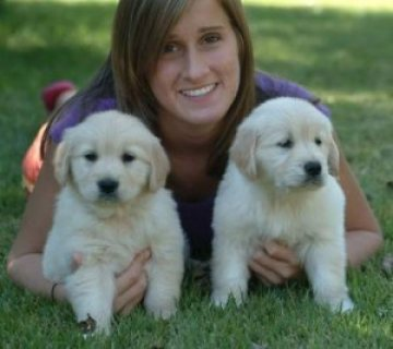 Golden etriever puppies