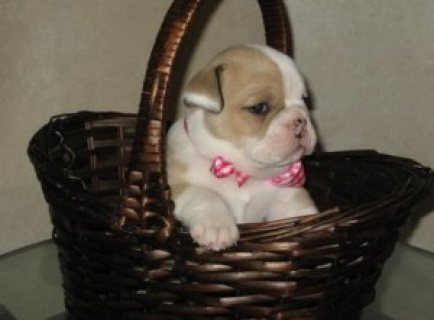 beautiful English Bulldog Puppies in Need of a home