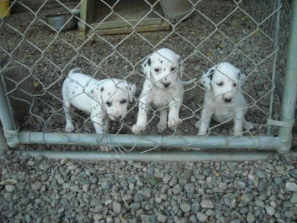 I have a litter of CKC Dalmatian puppies