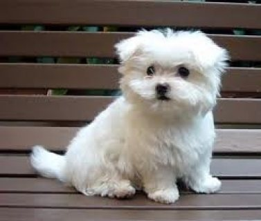 X-MASS Maltese Puppies for Adoption