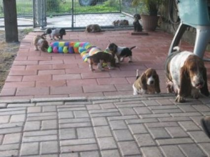 Basset Hound Puppies For Sale male and female