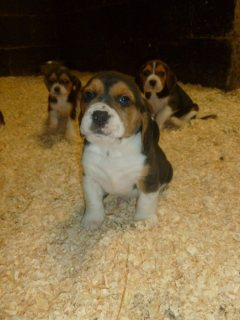 Coloured Beagles Puppies Ready Now