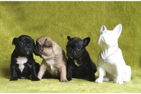 Precious French Bulldog Puppies for sale