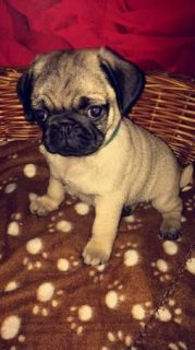 Defect guarantee Pug Puppies
