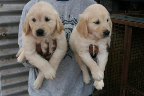 I have a Male and Female Golden Retriever puppies