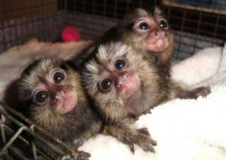 Pygmy marmoset monkey babies for sale.
