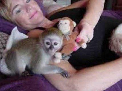 Lovely White Face Baby Capuchin Monkeys For Adoption