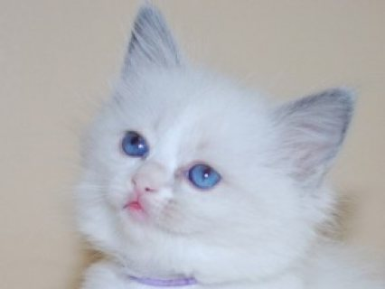 Male and Female Ragdoll Kittens Now 3 months old