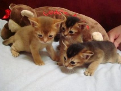 Pure-breed Ruddy Abysinnian Kittens